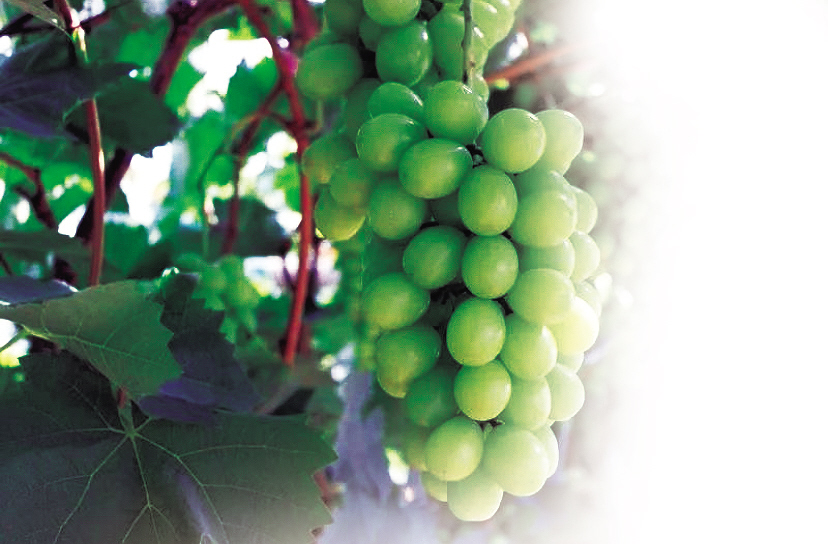 葡萄树最长可活多久无核葡萄是转基因吗?