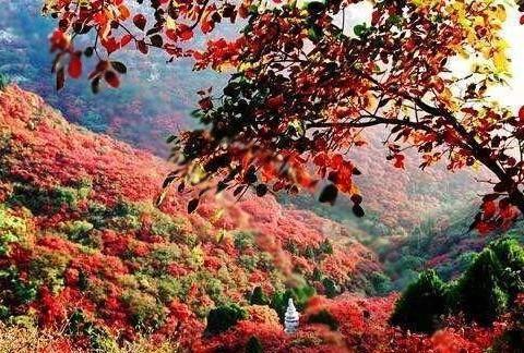 从化石门国家森林公园枫叶正红 最佳观赏期已到 漫山遍野红红火火