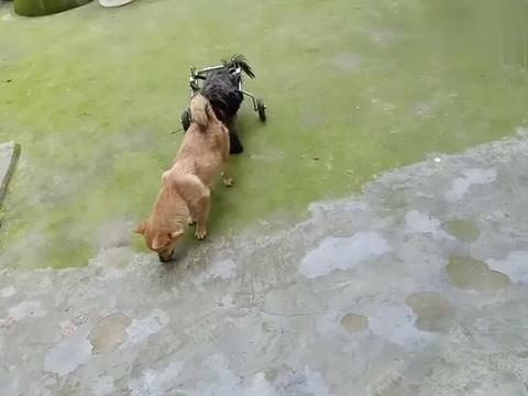 """给收养的瘫痪狗狗""""黑豆""""做锻炼,黑豆和其它狗狗在院子里玩耍!"""