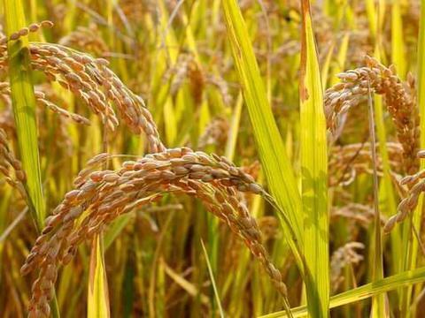 元旦旺季来袭,东北粳稻上涨,年前还能涨吗?3个坏消息或跌