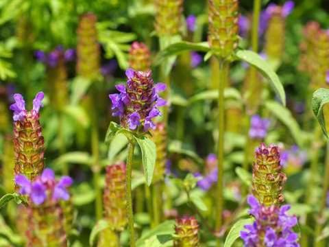 路边这种开紫花的野草,遇到请珍惜,是王老吉的主要成分之一