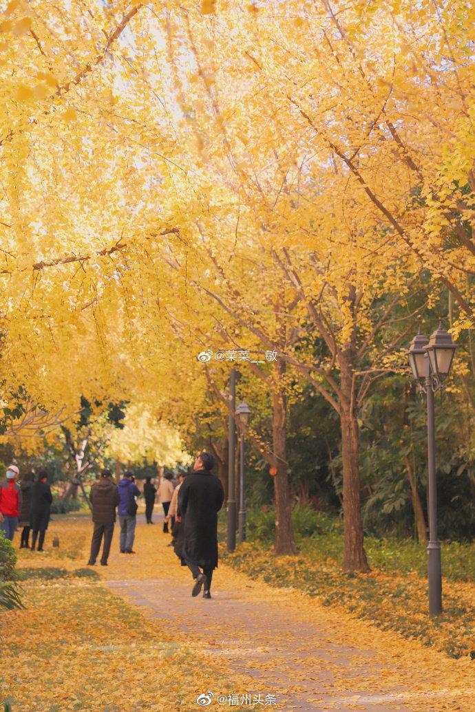 福州这里有银杏大道 也太美了!