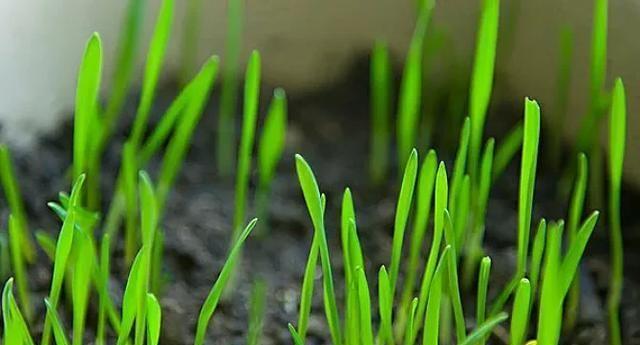 小麦除草剂什么时候打?