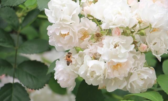 """蔷薇养护秘籍,掌握方法,在你家的阳台上种下一片""""蔷薇花海""""!"""
