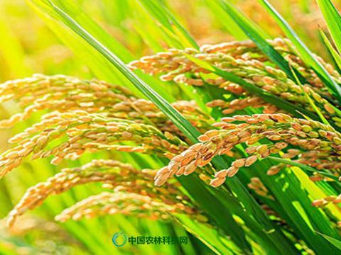 涨知识啦,什么是杂交水稻?