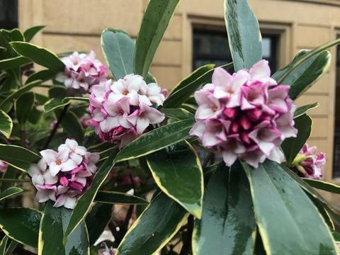 此花树姿美观,叶色翠绿,花极芳香,还是中国传统名花