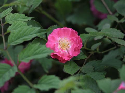养护蔷薇花,这3点不能忘,分分钟开成大花丛!