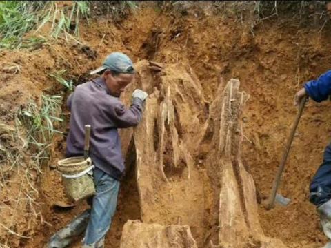 男子在自家后院种菜,结果挖出了一大块极品沉香木!
