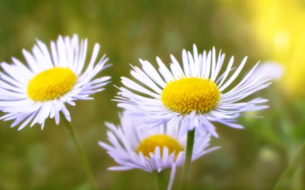雏菊是很小清新的花,不管是什么时候都给人一种很舒服的感觉