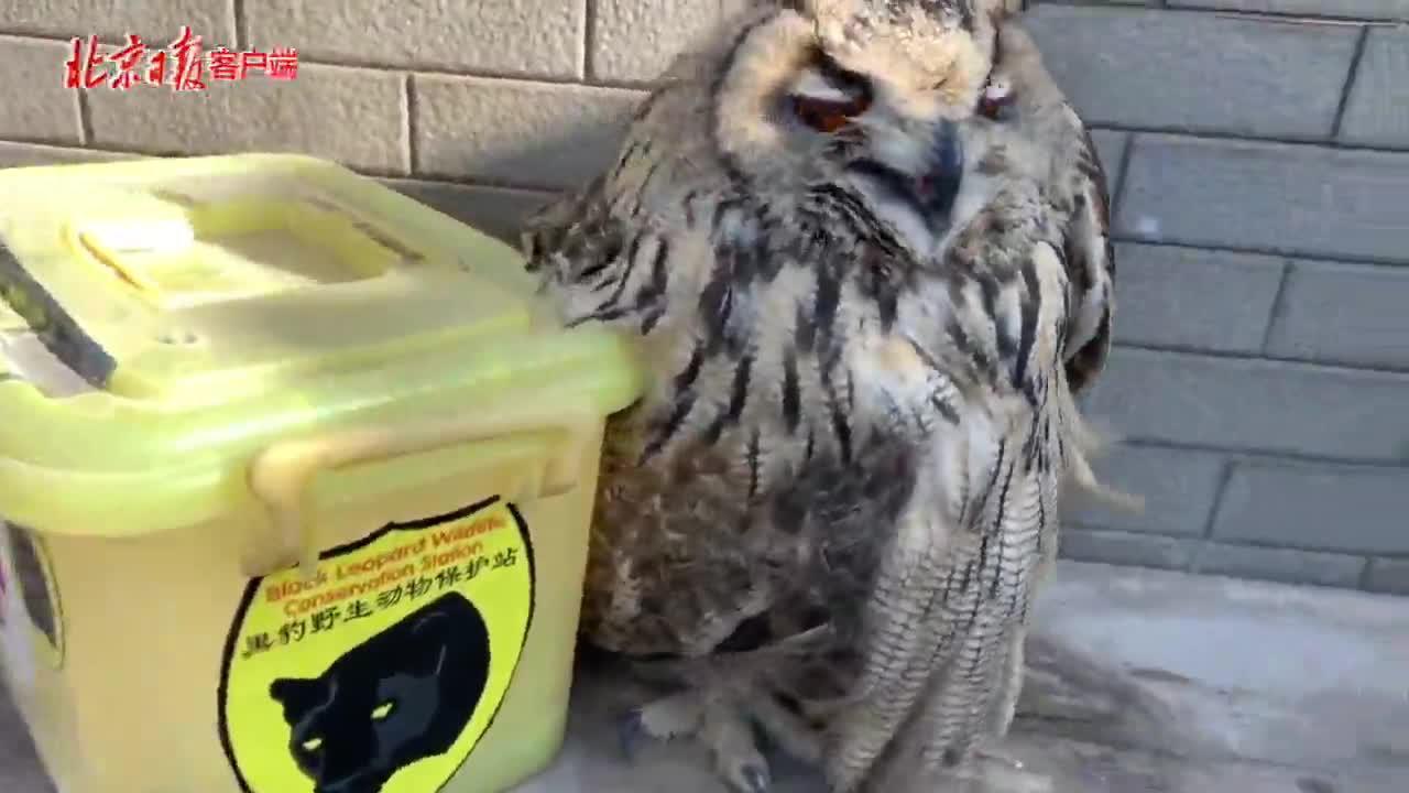 野生动物也扛不住这天儿,黑豹野保站救了只雕鸮