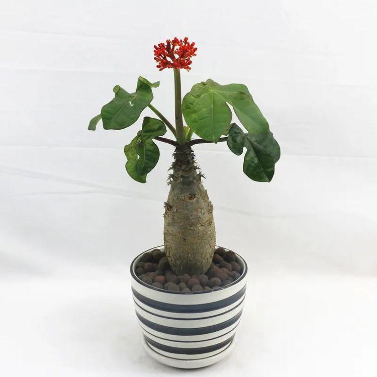 造型奇特花朵唯美的佛肚树,这么养护,花开一簇簇,争奇斗艳
