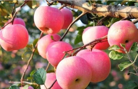 """""""漂亮""""的苹果不一定是打蜡,可能是""""套袋"""",不套袋""""蜡""""更多"""