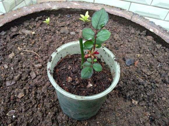 月季花扦插出大花墙,选好枝条找好基质!