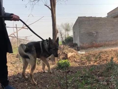 爱狗人士都喜欢这种犬,它聪明护主忠诚工作能力强,来欣赏了解下
