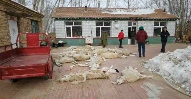 狼群夜袭棚圈咬死26只羊,养殖户当场掩面痛哭,官方回应让人安心