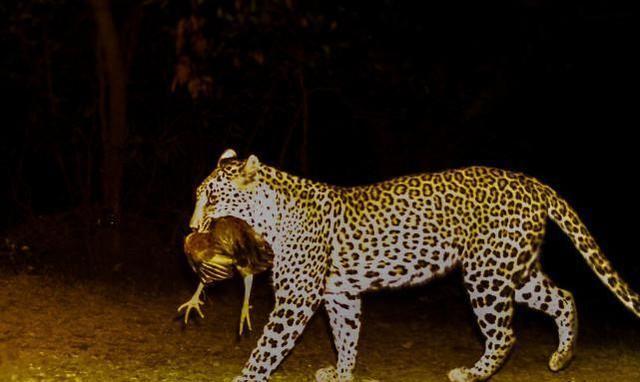 首次拍到美洲豹猎杀了豹猫,科学家很困惑,顶级捕食者为何厮杀?