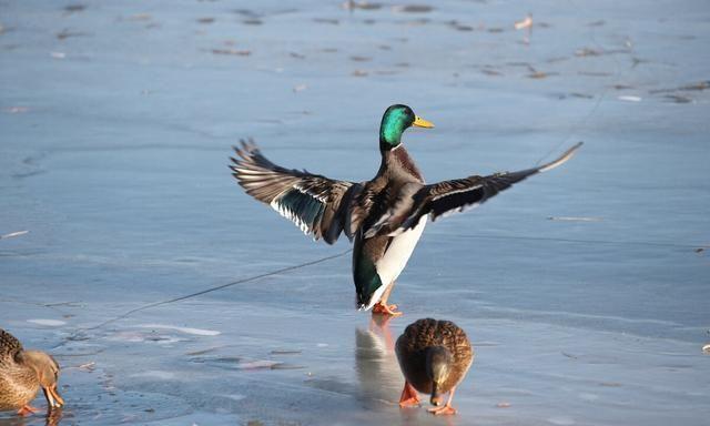 在北海公园湖面上聚集着许多过冬的野鸭和鸳鸯,它们有的嬉戏玩耍