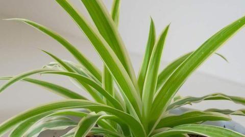 教室里摆上几盆可以吸附粉尘的植物,对学生和老师都有好处