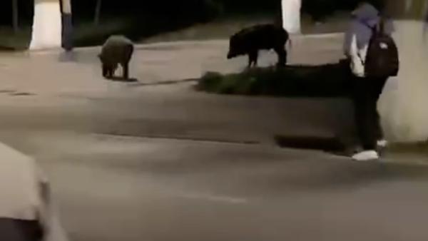华中科技大学校园现两头野猪,在师生注视下淡定溜达