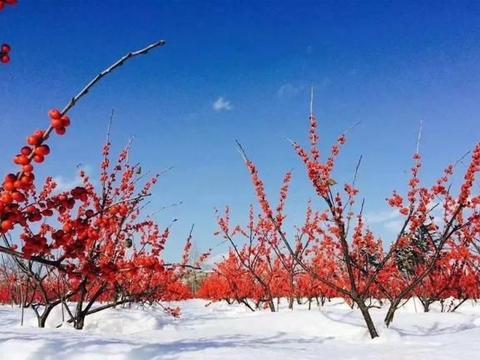 北美冬青到家一周就开始果子干瘪,落果,问题出在这里!