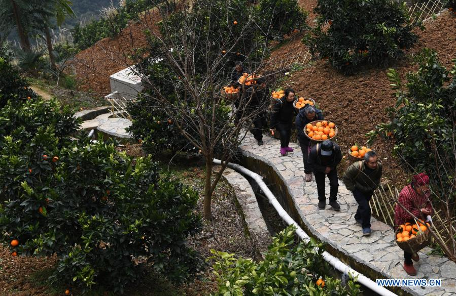Mao Xianglin (2nd, R) and villagers carry oranges at Xiazhuang Village, Zhuxian Township, Wushan County of southwest China's Chongqing, Jan. 7, 2021. For those who lived in Xiazhuang Village, it once took them two days to reach the nearest county. Thanks to the unceasing efforts of Mao Xianglin, the onerous travelling has become a history. In 1997, 38-year-old Mao Xianglin, the secretary of Communist Party of China (CPC) branch of Xiazhuang Village and head of the village committee, mobilized the villagers to build a better road to the outside world. To speed up the road building, Mao once worked and lived at the construction site for three months without going home. Finally in 2004, an 8-kilometer long and 2-meter wide road was finished. After more widening and hardening work conducted by the local government, the travel time from Xiazhuang Village to the county seat has been slashed to about one and a half hours. For Mao, building a road is the first step, and seeking a way to prosperity is the second. After consulting experts, he decided to develop orange planting industry in the village. Now, the orange orchard here covers an area of about 650 mu (about 43.3 hectares), and the whole village has shaken off poverty in 2015.