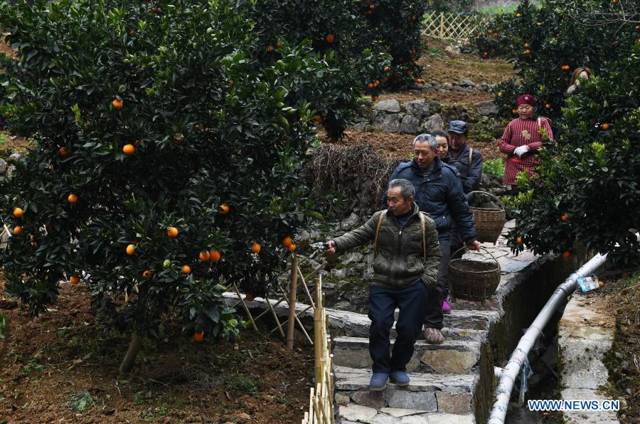 Mao Xianglin (front) and villagers go to harvest oranges at Xiazhuang Village, Zhuxian Township, Wushan County of southwest China's Chongqing, Jan. 7, 2021. For those who lived in Xiazhuang Village, it once took them two days to reach the nearest county. Thanks to the unceasing efforts of Mao Xianglin, the onerous travelling has become a history. In 1997, 38-year-old Mao Xianglin, the secretary of Communist Party of China (CPC) branch of Xiazhuang Village and head of the village committee, mobilized the villagers to build a better road to the outside world. To speed up the road building, Mao once worked and lived at the construction site for three months without going home. Finally in 2004, an 8-kilometer long and 2-meter wide road was finished. After more widening and hardening work conducted by the local government, the travel time from Xiazhuang Village to the county seat has been slashed to about one and a half hours. For Mao, building a road is the first step, and seeking a way to prosperity is the second. After consulting experts, he decided to develop orange planting industry in the village. Now, the orange orchard here covers an area of about 650 mu (about 43.3 hectares), and the whole village has shaken off poverty in 2015.