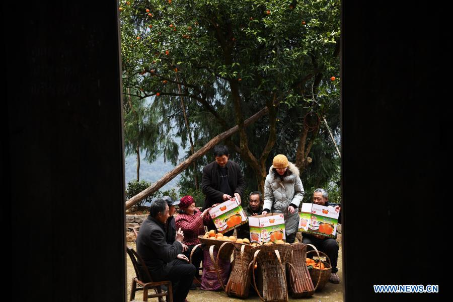 Mao Xianglin (3rd, R) and villagers sort and package oranges at Xiazhuang Village, Zhuxian Township, Wushan County of southwest China's Chongqing, Jan. 7, 2021. For those who lived in Xiazhuang Village, it once took them two days to reach the nearest county. Thanks to the unceasing efforts of Mao Xianglin, the onerous travelling has become a history. In 1997, 38-year-old Mao Xianglin, the secretary of Communist Party of China (CPC) branch of Xiazhuang Village and head of the village committee, mobilized the villagers to build a better road to the outside world. To speed up the road building, Mao once worked and lived at the construction site for three months without going home. Finally in 2004, an 8-kilometer long and 2-meter wide road was finished. After more widening and hardening work conducted by the local government, the travel time from Xiazhuang Village to the county seat has been slashed to about one and a half hours. For Mao, building a road is the first step, and seeking a way to prosperity is the second. After consulting experts, he decided to develop orange planting industry in the village. Now, the orange orchard here covers an area of about 650 mu (about 43.3 hectares), and the whole village has shaken off poverty in 2015.