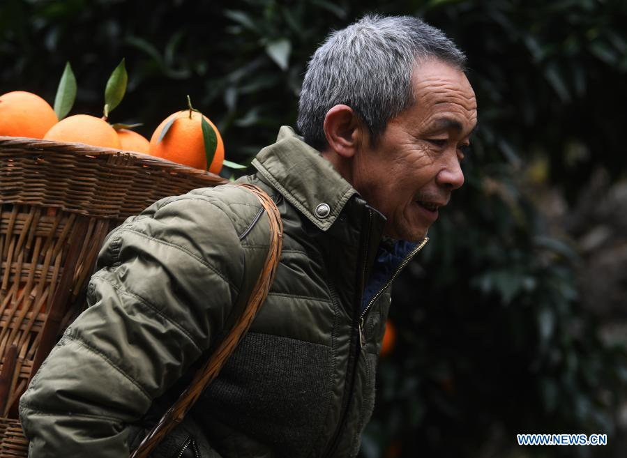 Mao Xianglin carries oranges at Xiazhuang Village, Zhuxian Township, Wushan County of southwest China's Chongqing, Jan. 7, 2021. For those who lived in Xiazhuang Village, it once took them two days to reach the nearest county. Thanks to the unceasing efforts of Mao Xianglin, the onerous travelling has become a history. In 1997, 38-year-old Mao Xianglin, the secretary of Communist Party of China (CPC) branch of Xiazhuang Village and head of the village committee, mobilized the villagers to build a better road to the outside world. To speed up the road building, Mao once worked and lived at the construction site for three months without going home. Finally in 2004, an 8-kilometer long and 2-meter wide road was finished. After more widening and hardening work conducted by the local government, the travel time from Xiazhuang Village to the county seat has been slashed to about one and a half hours. For Mao, building a road is the first step, and seeking a way to prosperity is the second. After consulting experts, he decided to develop orange planting industry in the village. Now, the orange orchard here covers an area of about 650 mu (about 43.3 hectares), and the whole village has shaken off poverty in 2015.