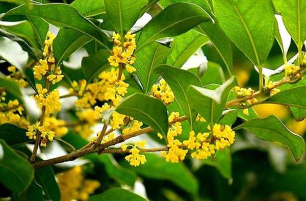 桂花盛开时,浓郁花香飘十里,想要今年有棵桂花树!