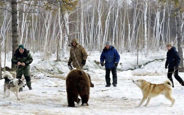 把5岁棕熊用锁链拴住,让群狗撕咬,看着让人愤怒最后都笑哭了