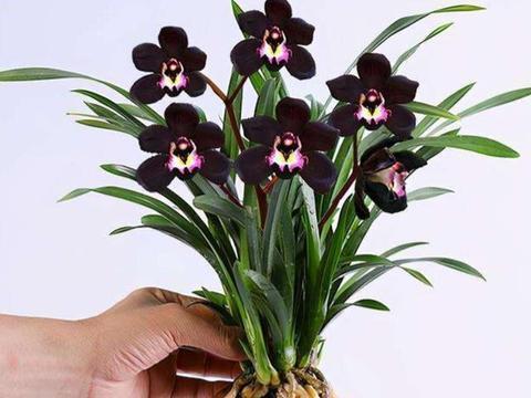 此兰花色神秘,黑杆黑花,香味浓郁,养护简单,存世量比较少