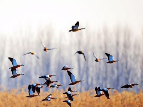 """""""候鸟""""张斌拍鸟16年  万张照片记录宿鸭湖生态之变"""
