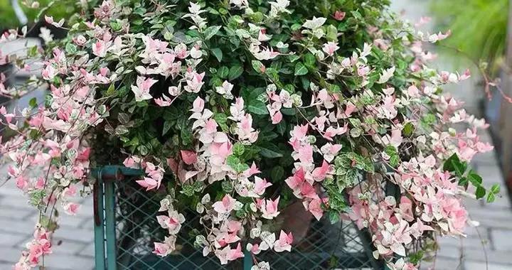 冬天在家养几盆花叶络石,省心又好养,叶色绚丽,比花还好看