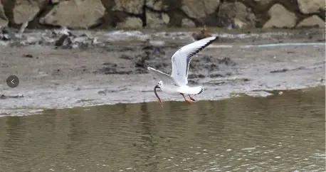 """瘦西湖来了贵客快来""""鸥""""遇吧 红嘴鸥数量比白鹭多得多"""
