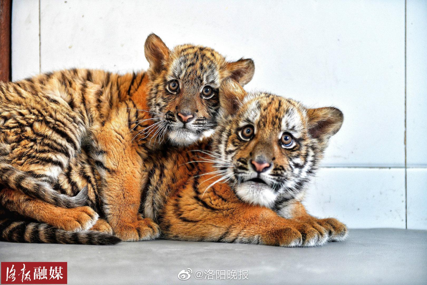 洛阳王城公园动物园再添2只华南虎!数量保持全国第一