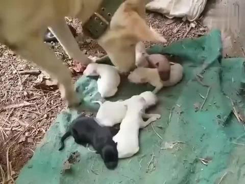 当了妈的狗子究竟有多护犊子