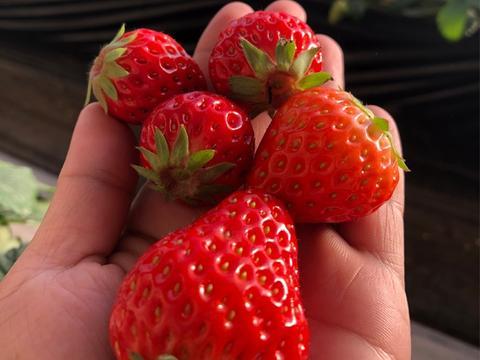 如何防治温室草莓畸形果?这几点建议收藏