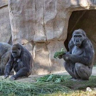 美国圣迭戈动物园多只大猩猩新冠检测呈阳性,或被管理员感染