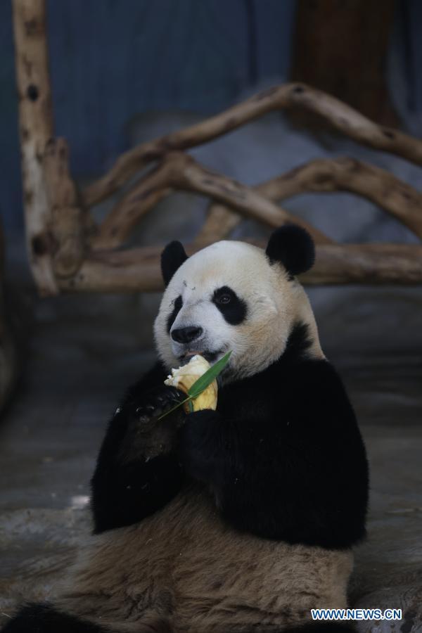 Giant panda Shun Shun eats bamboo shoots at the Hainan Tropical Wildlife Park and Botanical Garden in Haikou, south China's Hainan Province, Jan. 12, 2021. Giant pandas Gong Gong and Shun Shun are now aged seven. (Xinhua/Zhang Liyun)