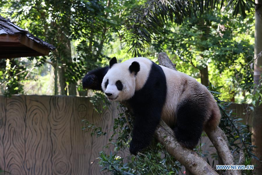 Giant panda Gong Gong rests on the tree at the Hainan Tropical Wildlife Park and Botanical Garden in Haikou, south China's Hainan Province, Jan. 12, 2021. Giant pandas Gong Gong and Shun Shun are now aged seven. (Xinhua/Zhang Liyun)