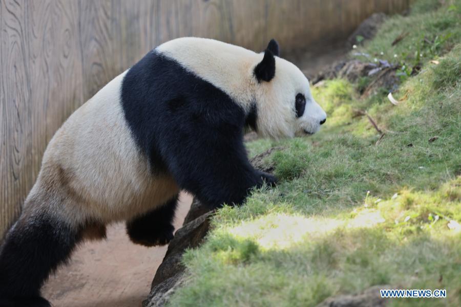 Giant panda Gong Gong plays at the Hainan Tropical Wildlife Park and Botanical Garden in Haikou, south China's Hainan Province, Jan. 12, 2021. Giant pandas Gong Gong and Shun Shun are now aged seven. (Xinhua/Zhang Liyun)