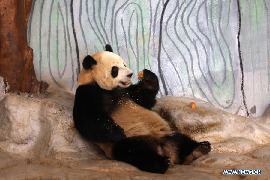 Giant panda Shun Shun has desserts at the Hainan Tropical Wildlife Park and Botanical Garden in Haikou, south China's Hainan Province, Jan. 12, 2021. Giant pandas Gong Gong and Shun Shun are now aged seven. (Xinhua/Zhang Liyun)