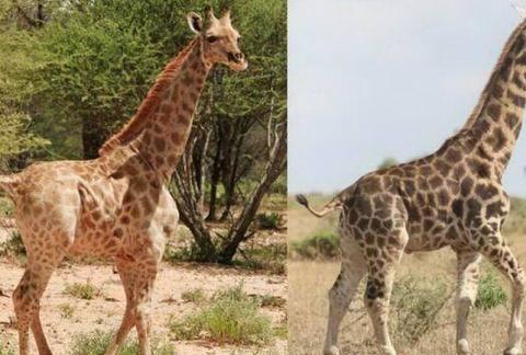 首次在自然界中发现了两只侏儒长颈鹿