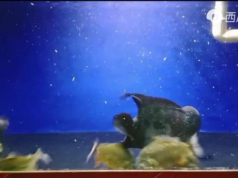 1条罗汉鱼 对战 10条食人鱼,你猜结果谁更厉害呢?