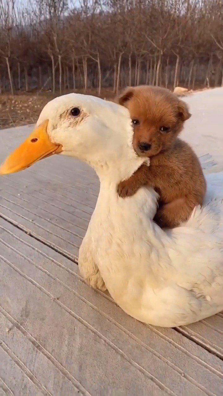 可爱的狗子,暖暖的大鹅~ 真友谊,认证~