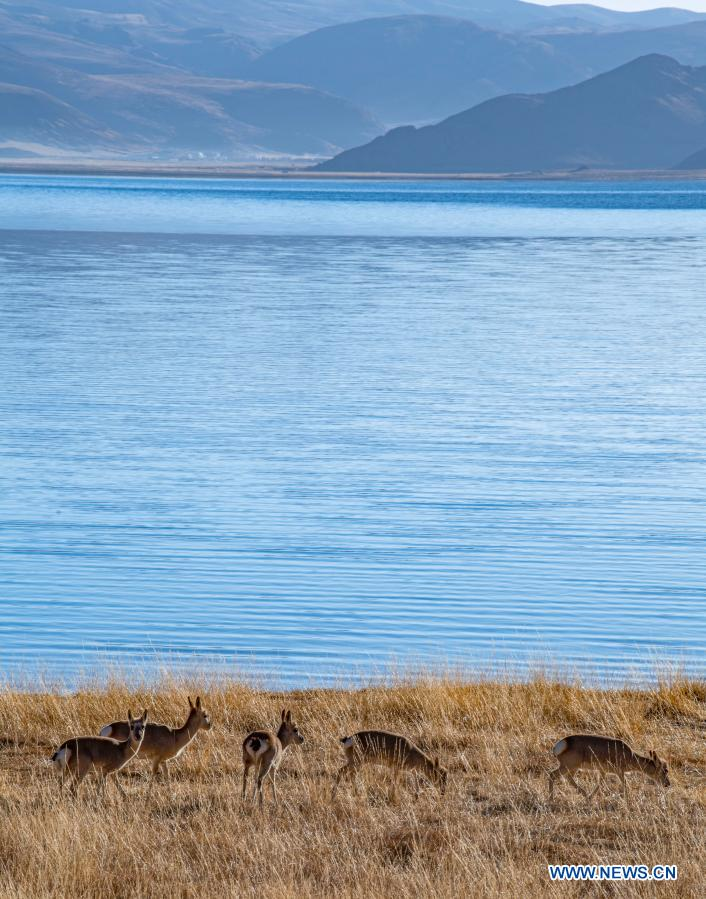 Photo taken on Jan. 10, 2021 shows Tibetan gazelles by the Yamzbog Yumco Lake in Shannan, southwest China's Tibet Autonomous Region. The population of wild animals that inhabit and breed by the lake increased year by year thanks to efforts of environmental protection. (Xinhua/Sun Fei)