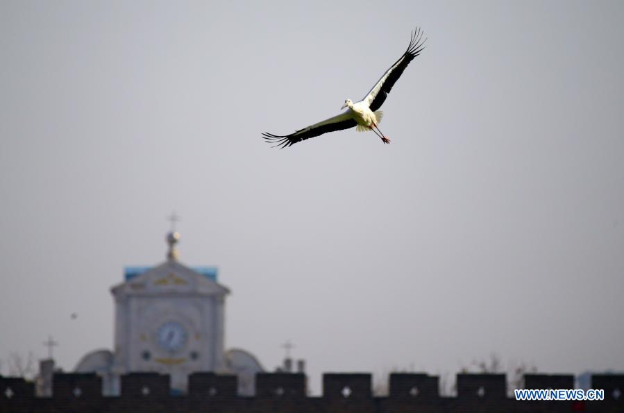 Photo taken on Jan. 12, 2021 shows an oriental white stork flying in the sky in Shangqiu City, central China's Henan Province. Dozens of oriental white storks have been spotted recently at the park. The oriental white stork, a migratory bird species under first-class national protection, is listed as