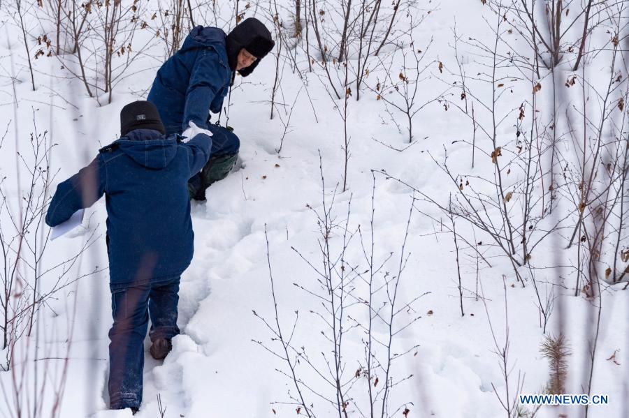Lyu Jiansheng (Upper) and Wang Shaoting conduct power line patrol in the forest near Beiji Village of Mohe City, northeast China's Heilongjiang Province, Jan. 12, 2021. Beiji Village, located in Mohe City, the northernmost city in China, could only rely on small diesel generators for power supply before 2007. After connecting to the State Grid, Beiji Village set up the northernmost power supply station in China, the Beiji Power Supply Station. Director Lyu Jiansheng and meter reader Wang Shaoting are the only two staff members of the station which is in charge of more than 20 kilometers of overhead lines and 70 kilometers of buried cable lines around it. The temperature in the village often drops to below minus 40 degrees Celsius, and they patrol along the line every once in a while. In 2020, the power supply station renovated multi-functional exhibition hall and canteen, purchased kitchenware and installed bathroom.