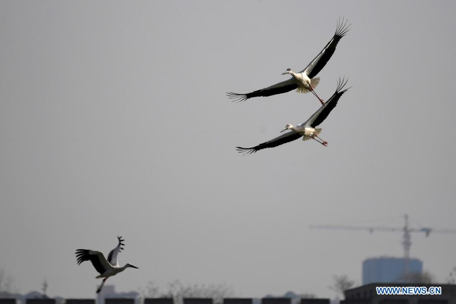 Photo taken on Jan. 12, 2021 shows oriental white storks flying in the sky in Shangqiu City, central China's Henan Province. Dozens of oriental white storks have been spotted recently at the park. The oriental white stork, a migratory bird species under first-class national protection, is listed as