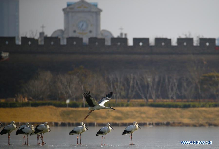 Photo taken on Jan. 12, 2021 shows oriental white storks at the Nanhu park in Shangqiu City, central China's Henan Province. Dozens of oriental white storks have been spotted recently at the park. The oriental white stork, a migratory bird species under first-class national protection, is listed as